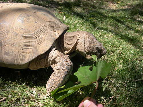 Hand feeding the tortoise | by midwinter