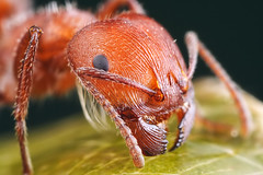 harvester ant close up | by Mundo Poco