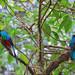 Quetzal Pair