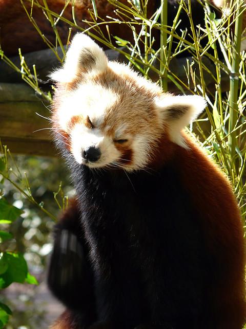 Panda Rouge Mozilla Mamabartha Gq