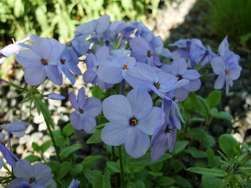 Periwinkle Phlox | by agent j loves nyc