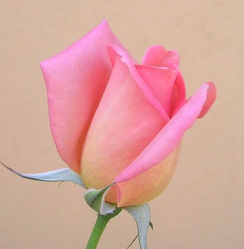 pink rose for the cure | by nirsha
