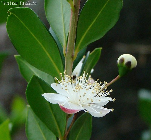 Flor da Murta // Common Myrtle (Myrtus communis) | by Valter Jacinto | Portugal