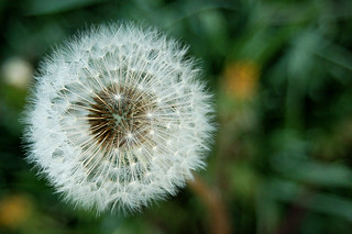 dandelion | by hurrayic