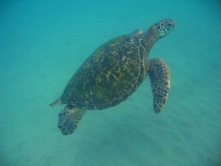 Hawaiian Green Sea Turtle | by esharar