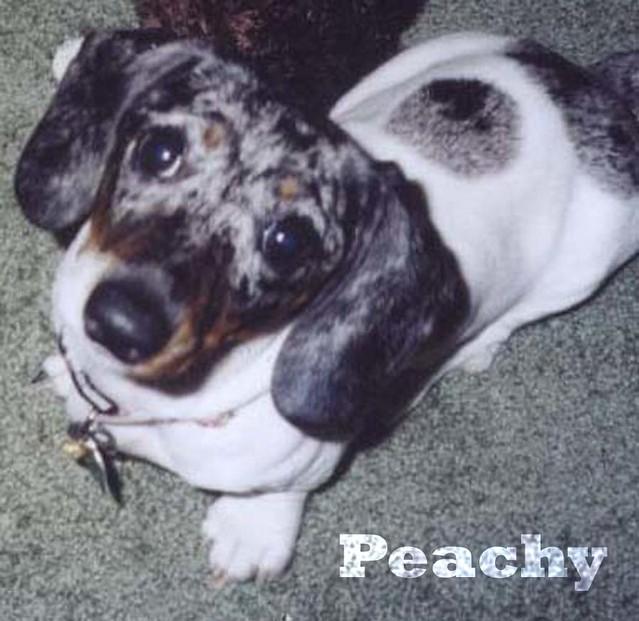 Peachy (Mini Silver Dapple Piebald Dachshund) 6 months | Flickr