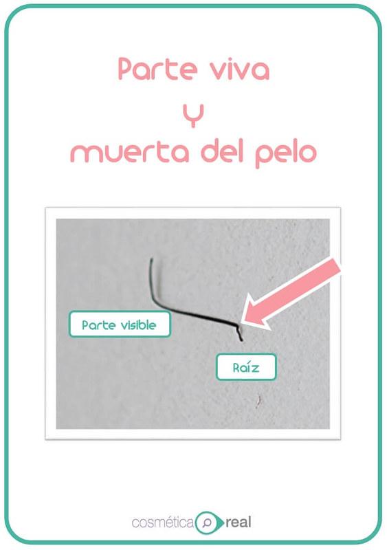 partes vivas y muertas del pelo (2)