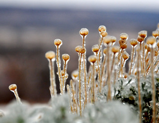 Frozen Buds | by mbryan777