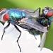Mating greenbottle Flies