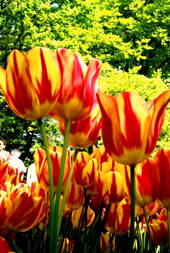 Dreaming of Keukenhof Magic, Again! (1) | by LizasGarden