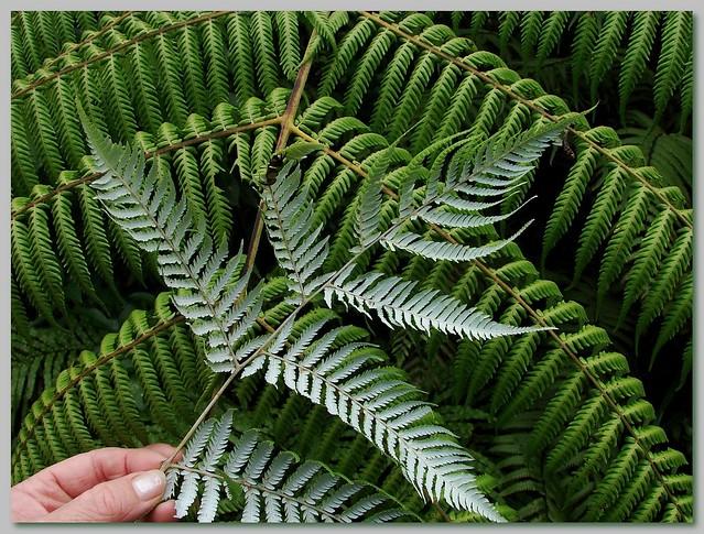 plant kiwi
