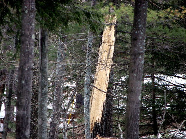 Pileated Woodpecker Damage   The tree was dead, But a ...