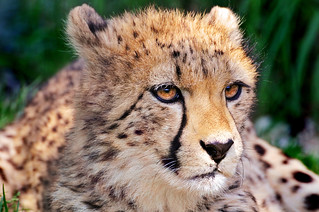 Portrait of a cheetah cub | by Tambako the Jaguar