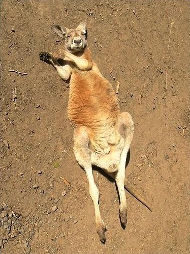 The Sleeping Kangaroo ...