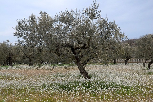 Olive Tree As A Symbol Of Abundance Glory And Peace Flickr