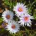 Drosanthemum hispidum flowers