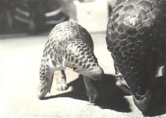 Baby Pangolin Learns to Walk | by ocelot_eyes