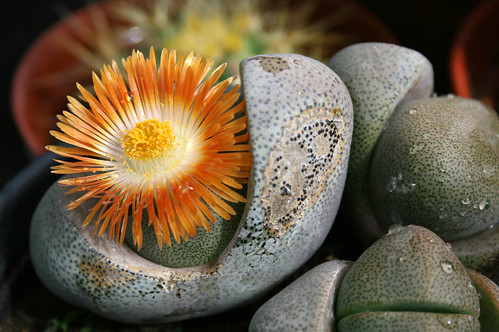 cactus flower | by Panos23
