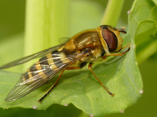 Hoverfly (Syrphus ribesii) #3 | by The LakeSide