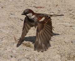 House sparrow takes flight | by naturelover2007