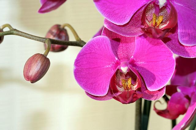 orchid e phalaenopsis explore laurent kb 39 s photos on. Black Bedroom Furniture Sets. Home Design Ideas