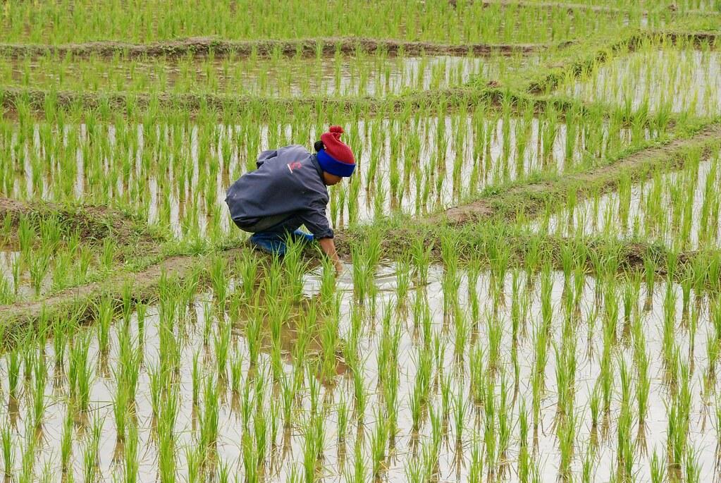 Karen people, rice growing in Doi In | Random visit Or my ...  Karen people, r...