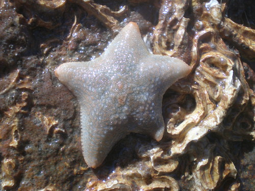 serennig - Asterina gibbosa - cushion star