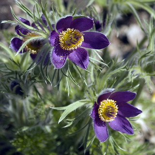 Pasque Flower | by lilbitphoto
