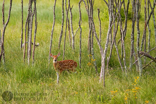 Fawn in Big Meadows Grove, Shenandoah National Park | by t.sullivan photography