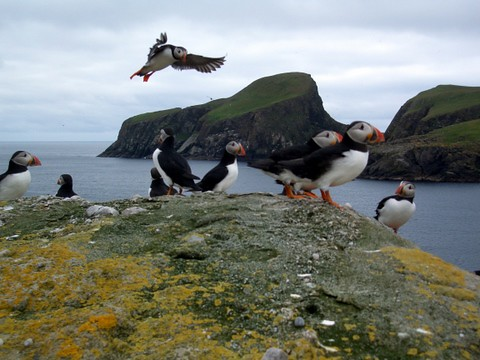 Puffin & Sheep Rock - Fair Isle - Shetland | puffins with sh… | Flickr