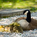 Momma and Babies (Canada Goose and Goslings)