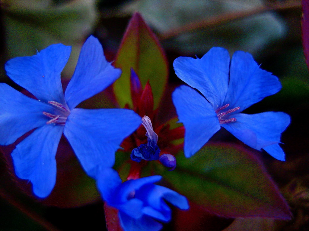 Blue Blooming | Best seen BIG | Johnathan J. Stegeman | Flickr