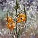 Humboldt lillies (Lilium humboldtii)