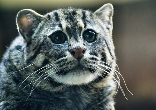 African Fishing Cat African Fishing Cat