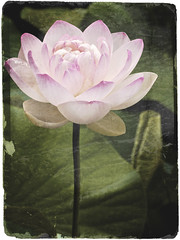 Lotus, antiqued | by Seldom Scene Photography
