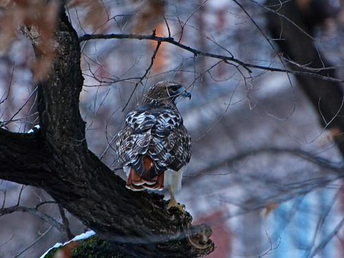 Hunting Hawk - 1275
