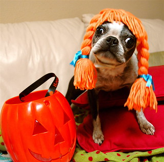 A Boston Terrier Halloween | by Don Hankins