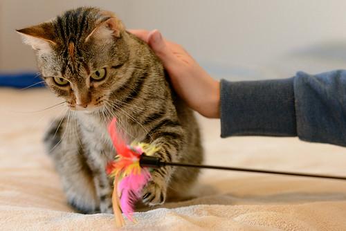 Grace, gata parda moteada guapa super cariñosa esterilizada nacida en Agosto´15, en adopción. Valencia.  32987065535_3beaff5109