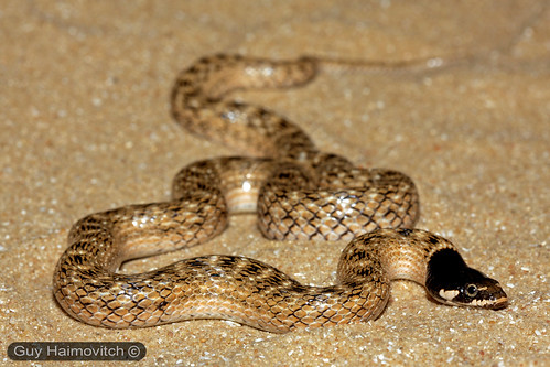 False Smooth Snake (Macroprotodon cucullatus) נחש כיפה | by HyperViper