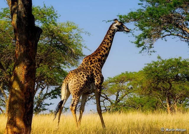 Tree Trimming | Giraffe (Giraffa camelopardalis) A ... Giraffe Skin Pattern