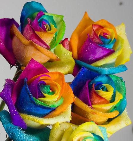 ColorfulRosesColorfulRosesHandeAksoyFlickr
