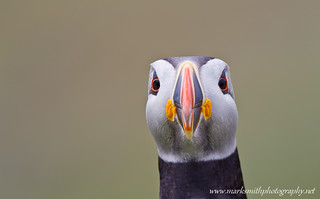 Atlantic Puffin | by markgsmith
