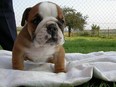 bulldog | by cutefolio