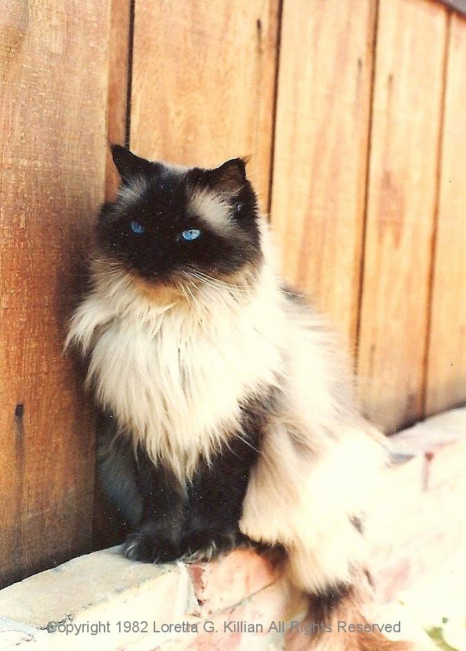White Himalayan Siamese Cat