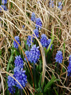 Muscari in Grasses | by RHR Horticulture