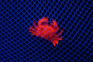 Blacklight crab caught in net | by hill.josh