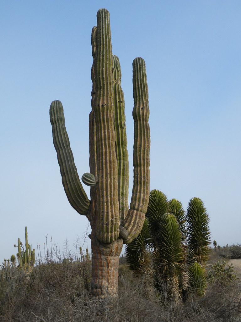 Pachycereus Pringlei Viscaino Baja California Sur