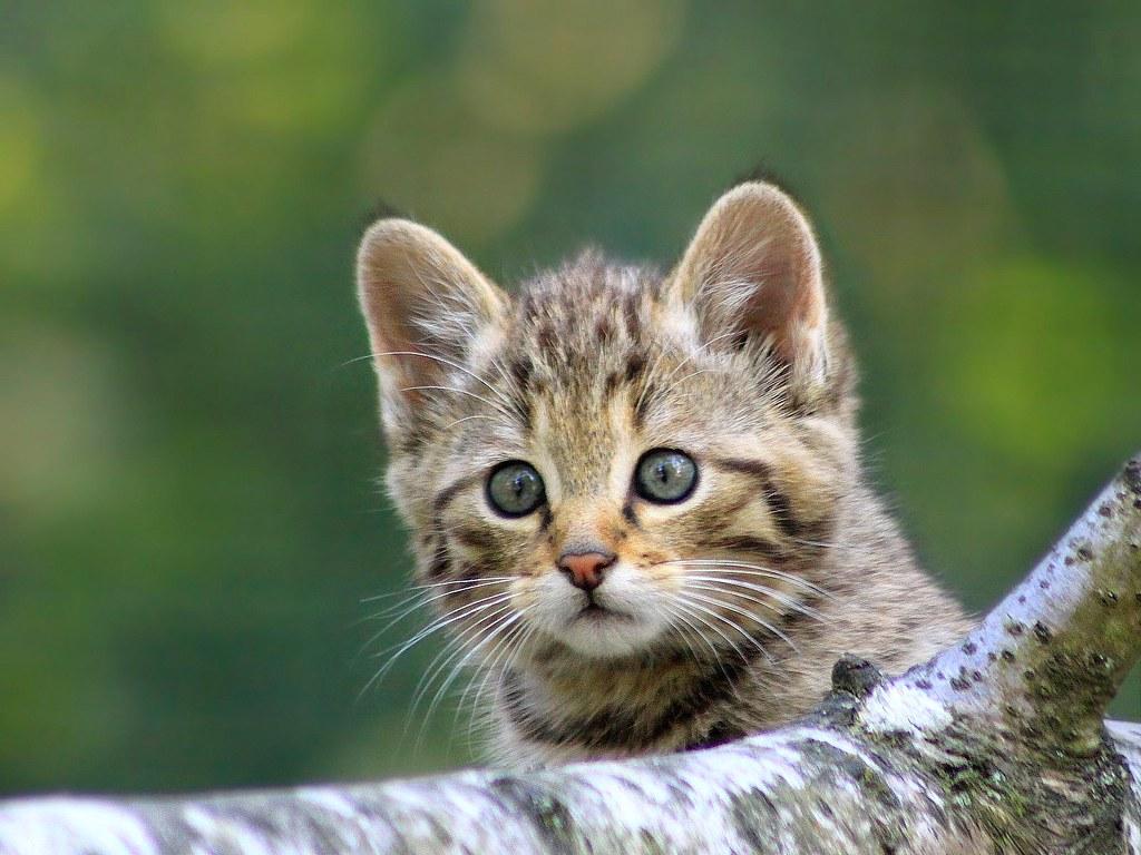 B b chat sylvestre 1 mois demi explorer 431 parc des flickr - Photo de bebe chat ...