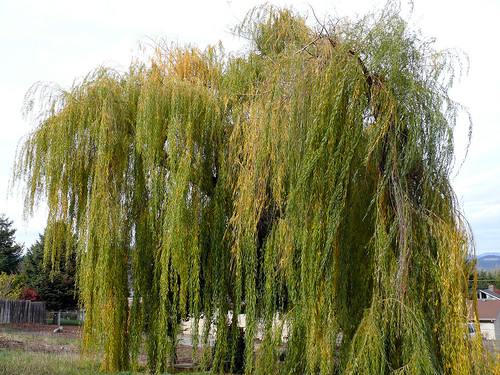 Weeping Willow | by Glenn Harris (Clintriter)