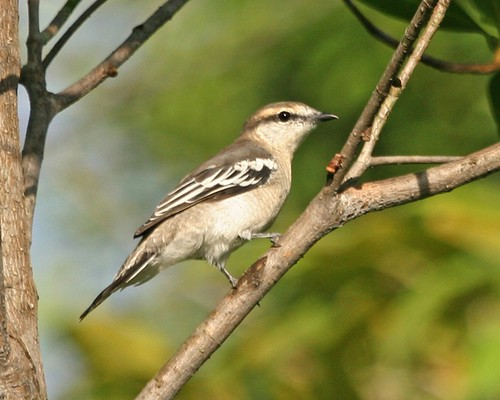 Pied Triller (Lalage nigra striga) - female | by Lip Kee